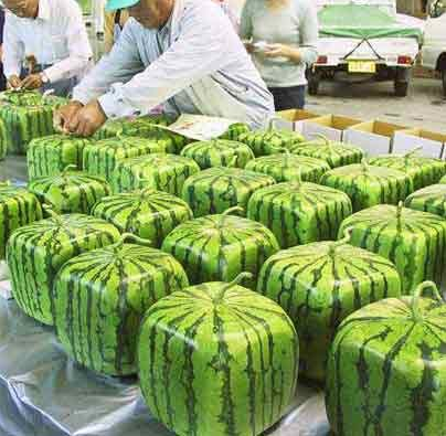 Pics Of Watermelon. of the Square Watermelon